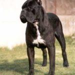 Chenò - 3 volte Ch. Mondiale (unico cane al mondo di qualsiasi razza a vincere tre volte il titolo consecutivamente), Ch. Italiano, Ch. Riproduttore, Ch. Sociale, Ch. Estero.