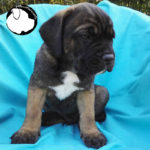 Danglars - Maschio Fulvo - Fawn Male SOLD